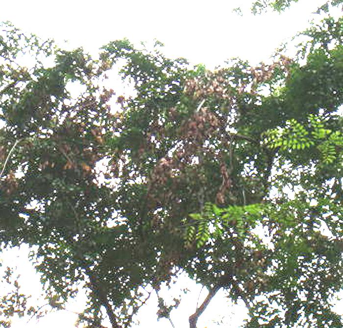 红酸枝树木生长过程