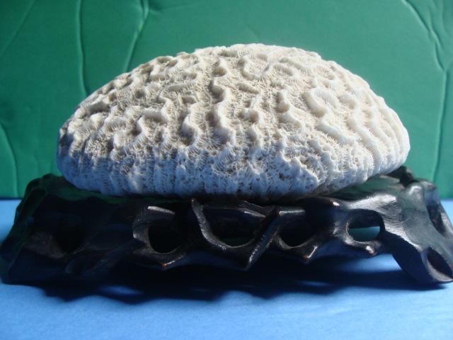海底生物珊瑚化石