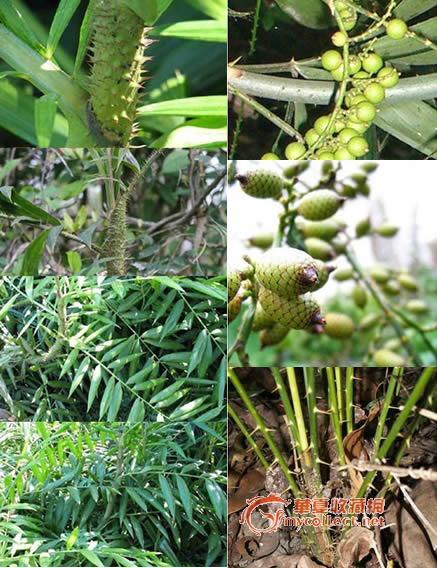 植物名称:黄藤别名:红藤,省藤,藤根,正藤,真白藤,赤藤科属:棕榈科黄藤