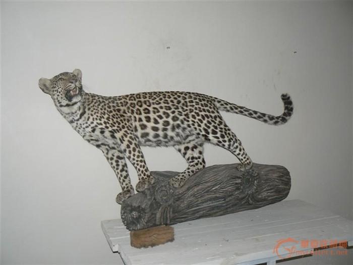 豹 豹子 壁纸 动物 桌面 700_525