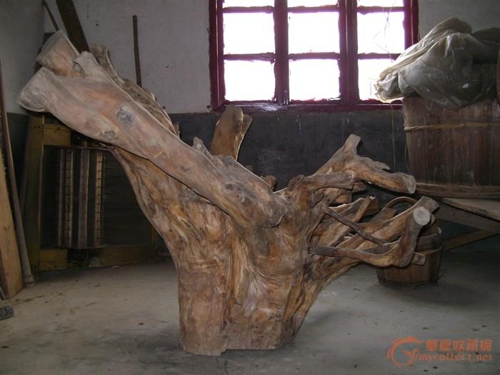 红豆杉 树根