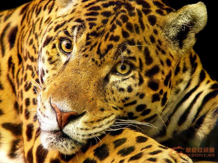 豹 豹子 壁纸 动物 虎 老虎 桌面 700_525