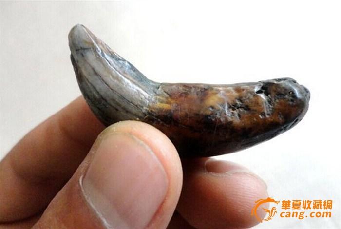 这是史前动物的牙齿吗?