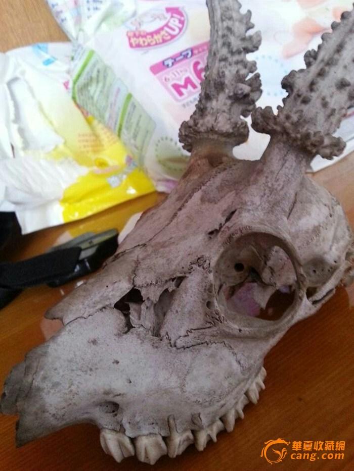 请大家帮我鉴定此头骨是什么头骨,及真伪 我查的好像是麋鹿的头骨